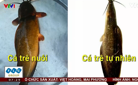 Cách phân biệt cá trê vàng và cá trê bị nhuộm hóa chất