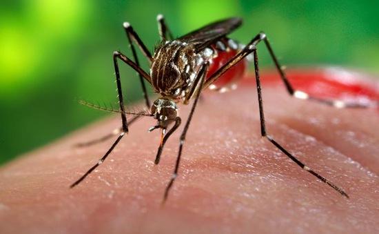 Muỗi truyền virus Zika đang rất phổ biến tại Hà Nội
