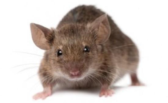 Dùng nước đá khô để đối phó nạn chuột hoành hành