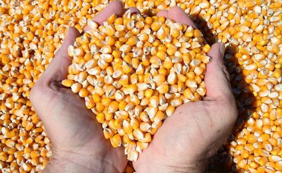 Giá ngô, lúa mỳ và đậu tương cùng tăng trong tuần qua