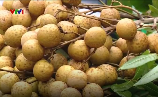 Hưng Yên: Người trồng nhãn điêu đứng vì thông tin nhãn xông lưu huỳnh