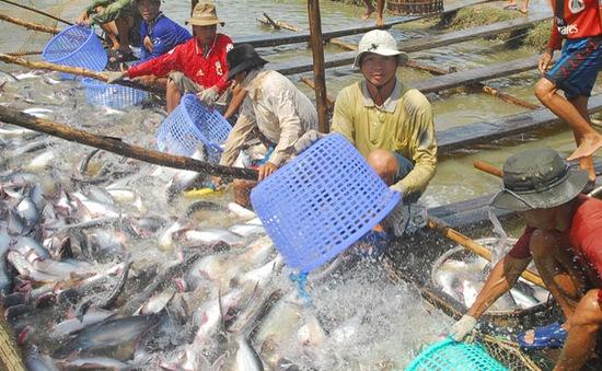 Cảnh giác trước hiện tượng thu mua cá tra quá lứa