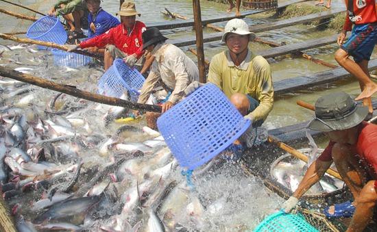 """Vì sao doanh nghiệp không """"mặn mà"""" với cá tra của nông dân?"""
