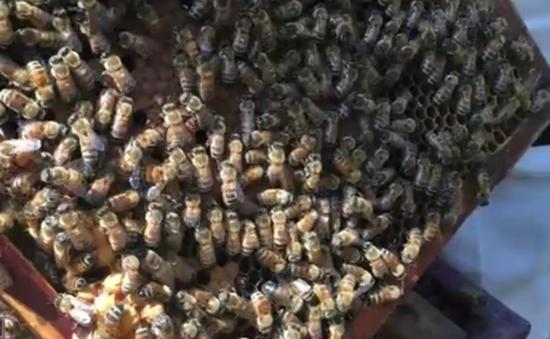 Không ai nhận trách nhiệm bồi thường cho người nuôi ong ngoại tỉnh ở Hà Giang
