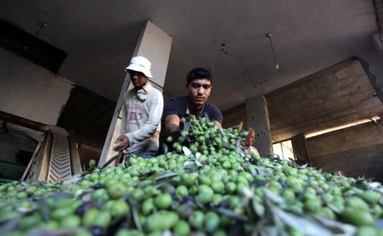 Vụ mùa ôliu bội thu của nông dân dải Gaza