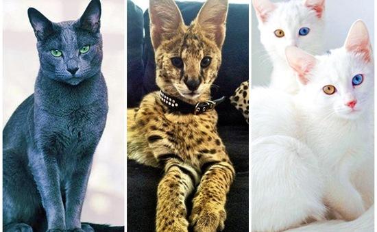 Chiêm ngưỡng những giống mèo đắt tiền nhất hành tinh