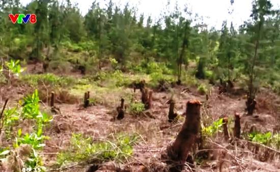 Rừng phòng hộ ven biển Bình Định bị tàn phá không thương tiếc