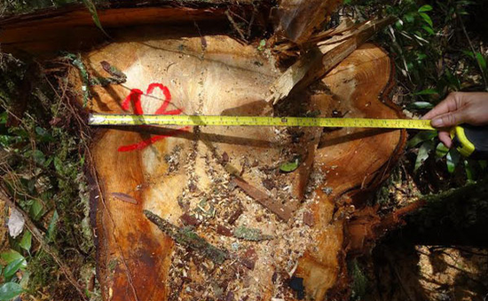 Khẩn trương điều tra vụ phá rừng pơ mu ở Quảng Nam