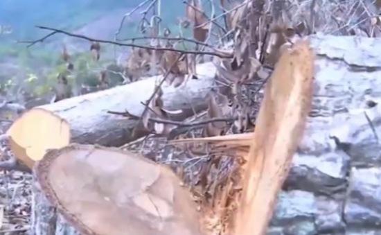 Vụ phá rừng quy mô lớn ở Phú Yên: Xác định 4 đối tượng chủ mưu