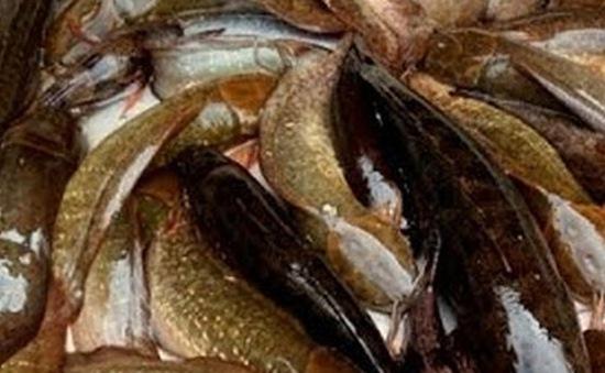 Không còn tình trạng sử dụng hóa chất tạo màu cho cá trê vàng