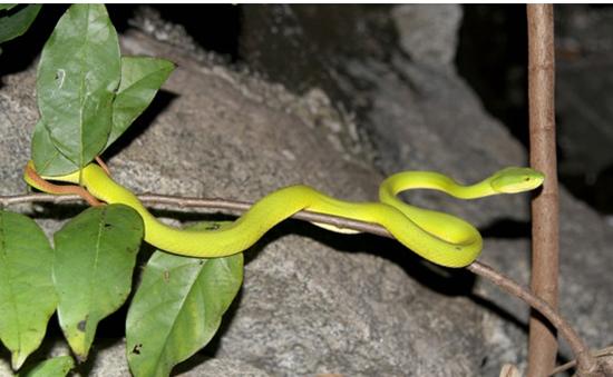 Bình Định: Gia tăng số người bị rắn lục đuôi đỏ cắn