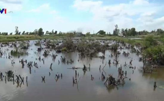 Hệ lụy từ việc phá rừng tràm nuôi tôm