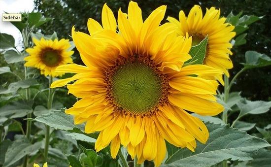Fukushima trồng hoa hướng dương để giảm thiểu nồng độ phóng xạ