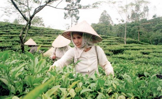 Tìm hiểu chuyện phá chè trồng cam ở Văn Chấn (17h20, ngày 9/9, VTV1)