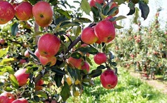 """Nông dân Argentina bất lực mang 10.000 kg táo, lê đi """"cho không"""""""