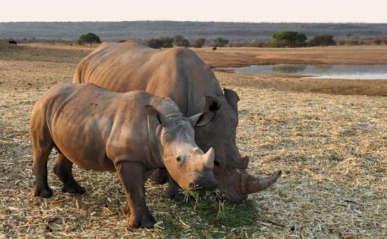 Số lượng tê giác bị giết tăng đột biến