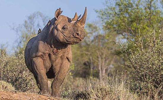 Tê giác bên bờ vực tuyệt chủng