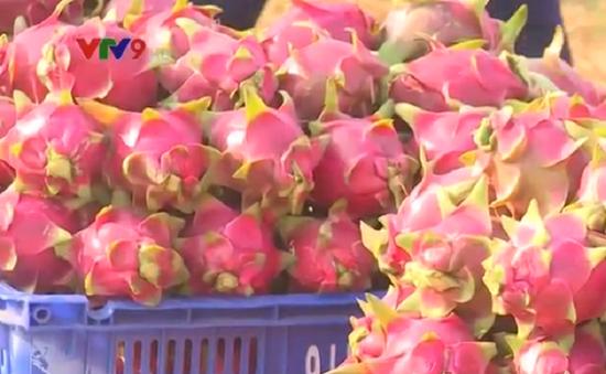 Thương lái Trung Quốc thâu tóm thị trường thanh long Bình Thuận