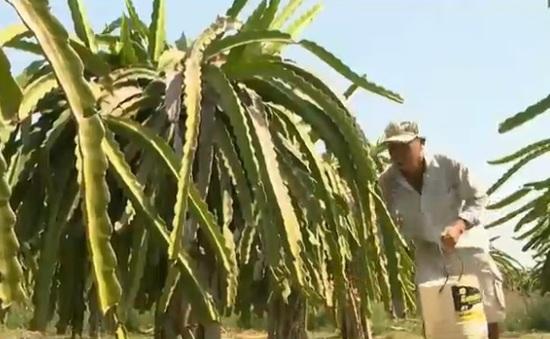 Loạn thuốc bảo vệ thực vật trên cây thanh long
