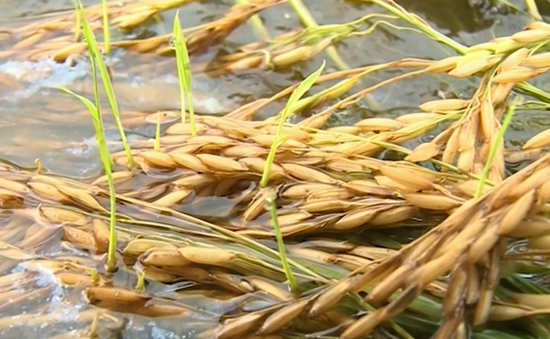Thiếu máy sấy lúa trầm trọng tại ĐBSCL