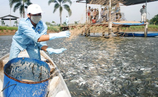 Giá cá tra thấp kỷ lục trong 6 năm qua