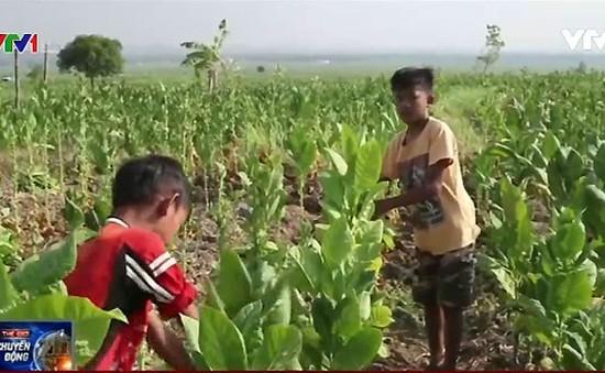 Indonesia: Cảnh báo tình trạng lao động trẻ em tại những trang trại thuốc lá