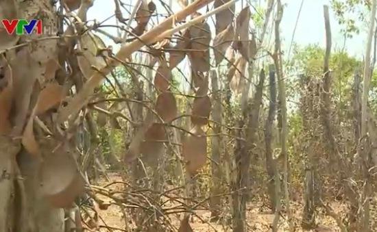 Bình Phước: 3.000 ha tiêu mất trắng vì hạn hán
