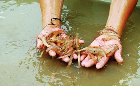 Bùng phát dịch bệnh tôm chết hàng loạt tại Quảng Trị