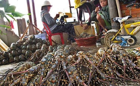 Thương lái ép giá bán tôm hùm trong mùa mưa bão