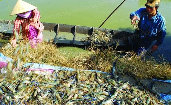 """Chưa có hướng giải quyết """"cuộc chiến"""" giữa tôm và lúa ở Kiên Giang"""