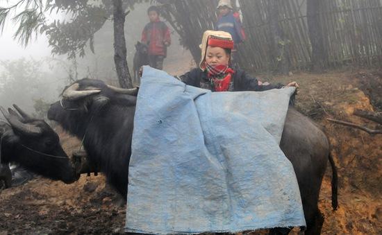 Hàng nghìn trâu, bò chết do cước chân sau giá lạnh