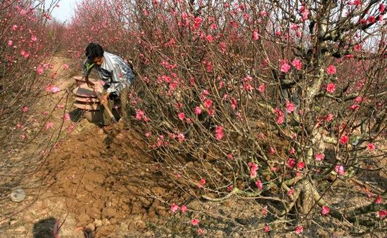 GS Nguyễn Lân Dũng tư vấn cách chăm đào Tết khi trời nắng nóng
