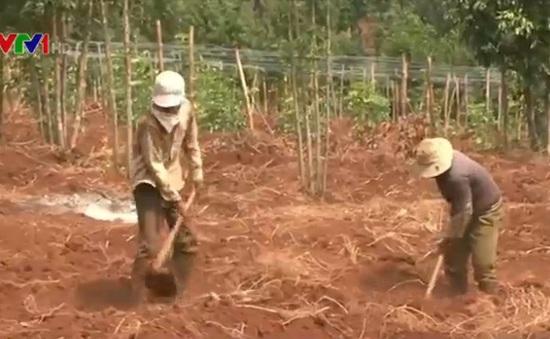 Nông dân phá cây cà phê, trồng chanh dây tại Gia Lai