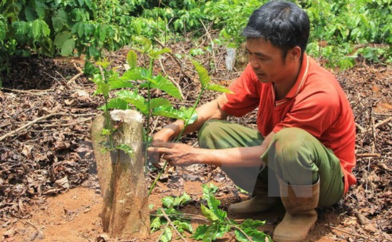 Tây Nguyên tái canh thêm gần 19.000 ha cây cà phê
