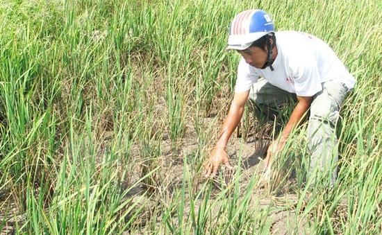 Khánh Hòa: Thiếu nước tưới, hơn 50% diện tích vụ Hè Thu bị bỏ hoang
