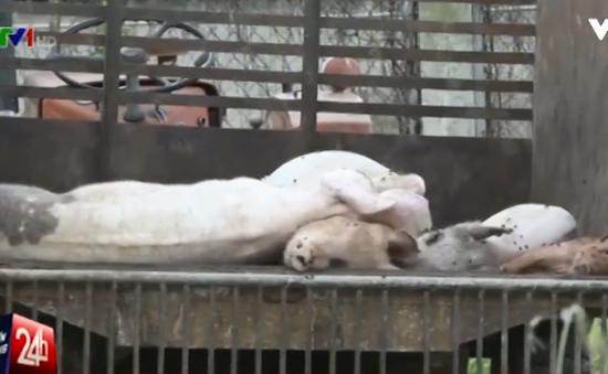 Có thể phạt công ty vứt lợn chết ra môi trường tối đa 80 triệu đồng