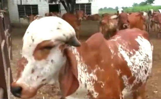 Khó tin: Chiết xuất vàng từ… nước tiểu bò