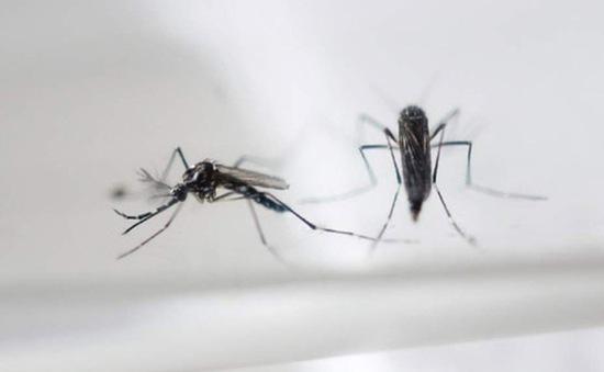 WHO ủng hộ thử nghiệm muỗi biến đổi gen phòng virus Zika