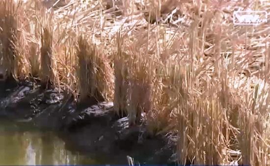 Vì lợi nhuận, nông dân mặc sức nuôi tôm bất chấp hại lúa