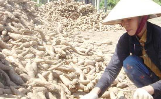 Xuất khẩu sắn giảm mạnh do Trung Quốc giảm mua