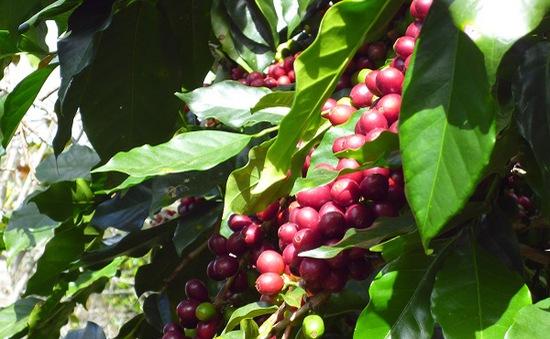 Đăk Lăk: Người dân phấn khởi vì cà phê được mùa
