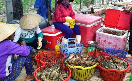 Hơn 1,6 triệu con tôm hùm ở vịnh Xuân Đài chết do ô nhiễm