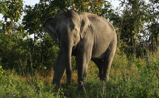 [Tiêu điểm]: Cấp bách bảo vệ đàn voi tại miền Trung và Tây Nguyên