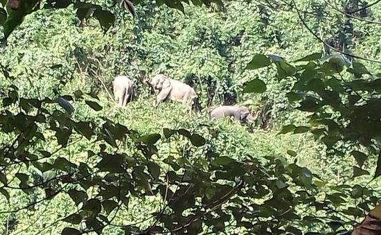 Voi rừng xuất hiện ở khu dân cư tỉnh Quảng Nam