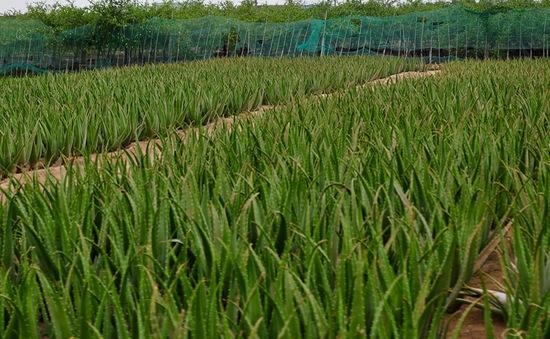 Nông dân trồng nha đam ở Ninh Thuận bấp bênh đầu ra sản phẩm