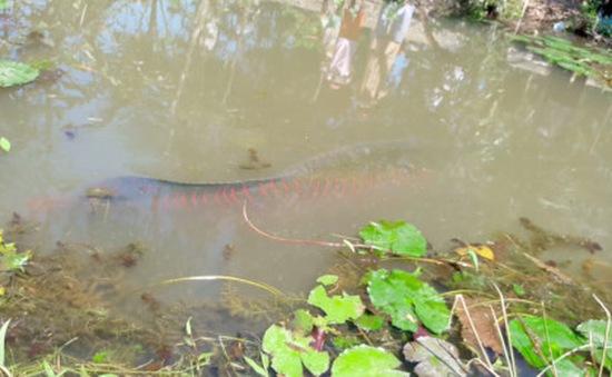 Cá lạ nặng 100kg ở Tiền Giang thu hút người dân đến xem