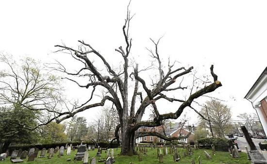 Mỹ: Người dân New Jersey chia tay cây sồi 600 năm tuổi