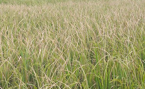 Nam Định công bố dịch lùn sọc đen hại lúa