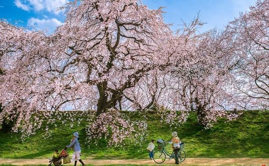 Ngẩn ngơ trước vẻ đẹp thần tiên của mùa hoa anh đào Nhật Bản
