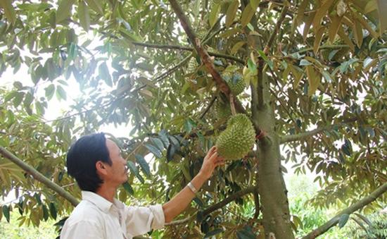 Người dân Tây Nguyên ồ ạt trồng sầu riêng